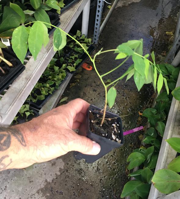 Amethyst Falls Wisteria Plant