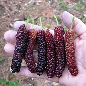 Pakistan Long Mulberry
