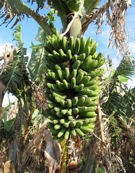 Dwarf Cavendish Banana