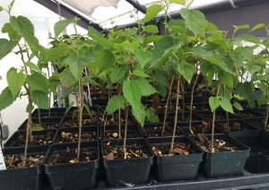 Dwarf Black Mulberry