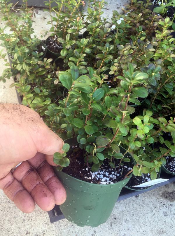 Lingonberry Plant - Vitis-Idaea