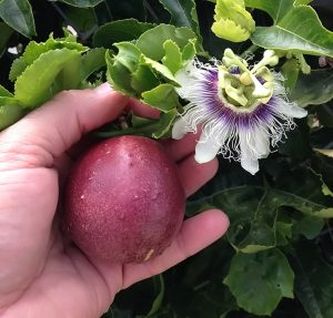 Red Rover Passion Fruit Vine