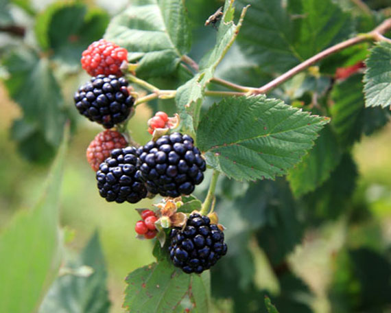 Sweetie Pie Thornless Blackberry