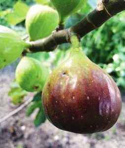 Texas Everbearing Fig