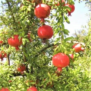 Pomegranate Tree - Punica SweetPomegranate Bush - Punica Sweet