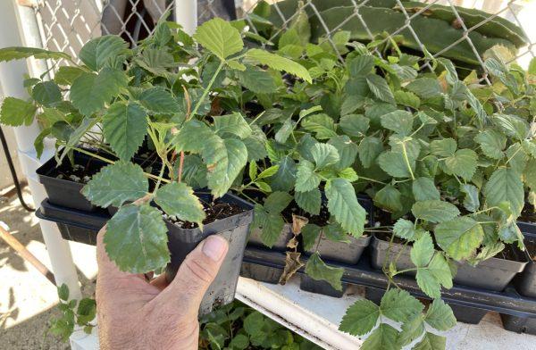 Boysenberry Plant