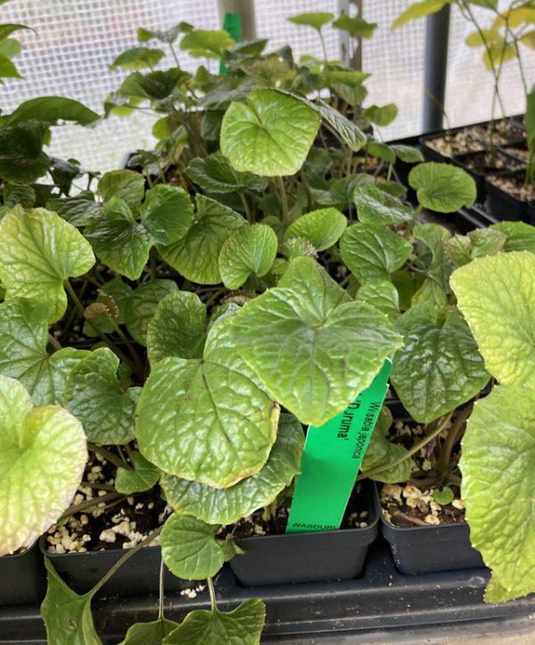 Wasabi Plant Daruma
