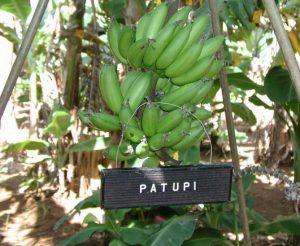 Patupi Banana